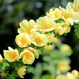 Yellow Beauties by Karen Silvestri