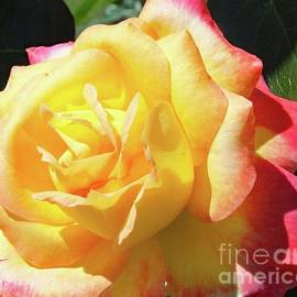 Cindy Treger - Yellow Beauty - Rose