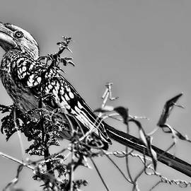 Kay Brewer - Yellow-Billed Hornbill in Black and White