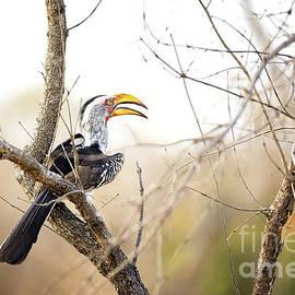Jane Rix - Yellow-billed hornbill sitting in a tree.