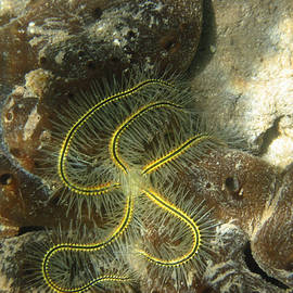 Yellow Brittle Star under the Dock by Kelly     ZumBerge