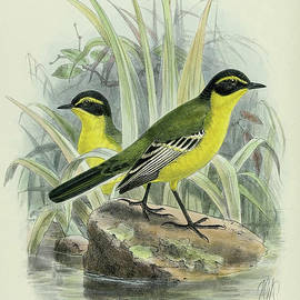 Yellow Browed Wagtail By Thorburn by Archibald Thorburn