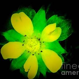 Debra Lynch - Yellow Buttercup On Black Background