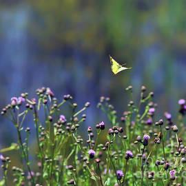 Kerri Farley - Yellow Butterfly Flyaway