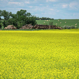 Yellow Canola Field by Patti Deters