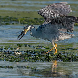 Yellow-Crowned Night-Heron Crabbing by Morris Finkelstein
