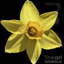 Tom Horsch Photography - Yellow Daffodil
