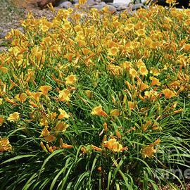 Ruth Housley - Yellow Daylilies 2