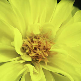 Dori Peers - Yellow Dahlia Flower