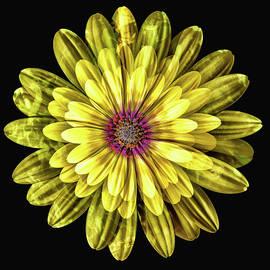 Yellow Gazania Multiple Exposure Abstract II by Linda Brody