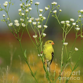 Nava Thompson - Yellow Goldfinch