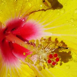 Yellow Hibiscus Macro by Trudee Hunter