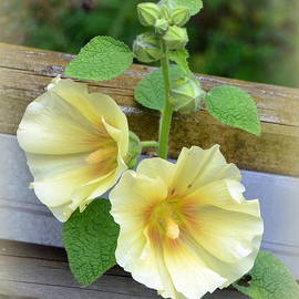 Yellow Hollyhocks by Carla Parris