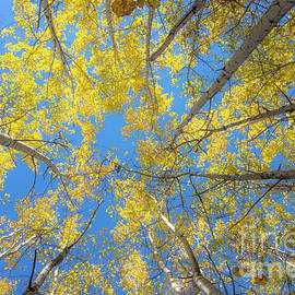 Alana Ranney - Yellow Leaves