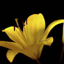 Lilia D - Yellow Lily flower