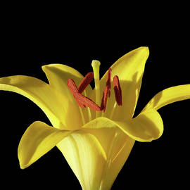 Johanna Hurmerinta - Yellow Lily Macro 2