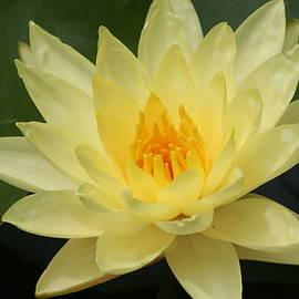 Eric Irion - Yellow Lotus flower