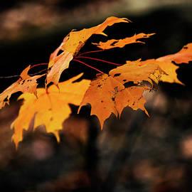 Qingrui Zhang - Yellow Maples_Autumn