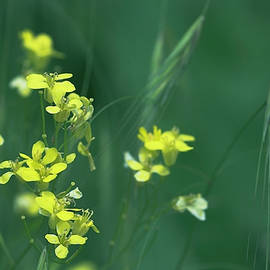Irina Safonova - Yellow Modest Florets And Spikelets
