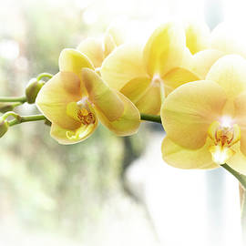 Yellow Moth Orchids in the Sun by Mother Nature