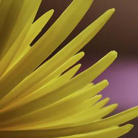 Yellow Mum Petals by Larah McElroy