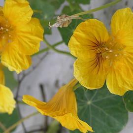 Yellow Nasturtium by Stephen Daddona