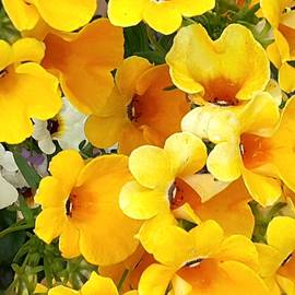 Nancy Pauling - Yellow Nemesia