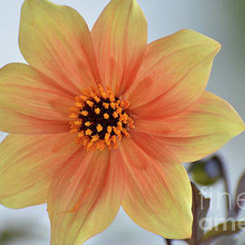 Debby Pueschel - Yellow Orange Dahlia Perfection