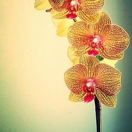 Cate Kirby - Yellow Orchid