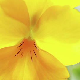 Yellow Pansy In Abstract by Debbie Oppermann