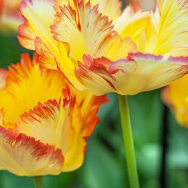 Jenny Rainbow - Yellow Parrot Tulips