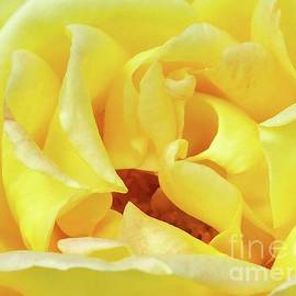 Yellow Perfection - Rose by Cindy Treger