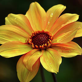 Yellow Petals and Drops by Julie Palencia