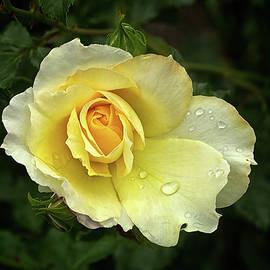 Robert Murray - Yellow Rose 2