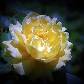 Steven Ward - Yellow Rose 2802 H_2