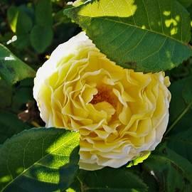 Darryl Treon - Yellow Rose Beauty