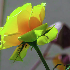 Cesar Vieira - Yellow Rose