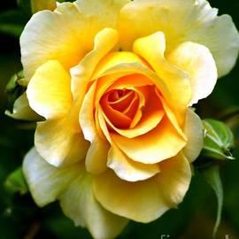 Yellow Rose by Charlene Cox