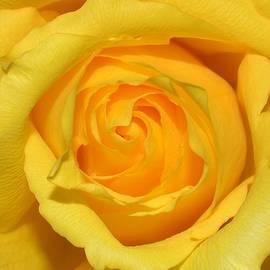 Eileen Brymer - Yellow Rose
