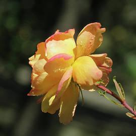Brooks Garten Hauschild - Yellow Rose Glow 2 - Images from the Garden
