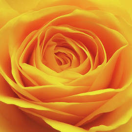 Johanna Hurmerinta - Yellow Rose Macro
