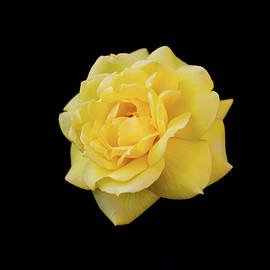 Aleksei lomanov Barsuk - Yellow Rose On Black Background