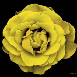 Brian Wallace - Yellow Rose On Black