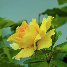 Randy Herring - Yellow rose