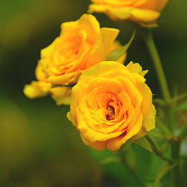 Yellow Roses by Charuhas Images