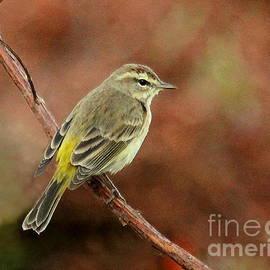 Myrna Bradshaw - Yellow-rumped Warbler