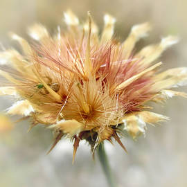Valerie Anne Kelly - Yellow star thistle