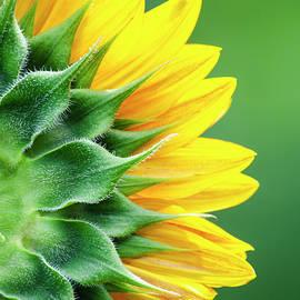 Yellow Sunflower by Christina Rollo