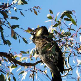 Steven Ralser - Yellow-Tailed Black Cockatoo