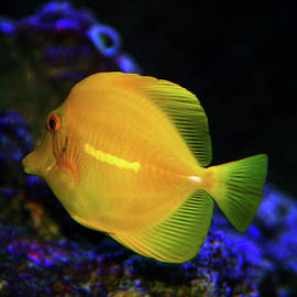 Yellow Tang by Anthony Jones